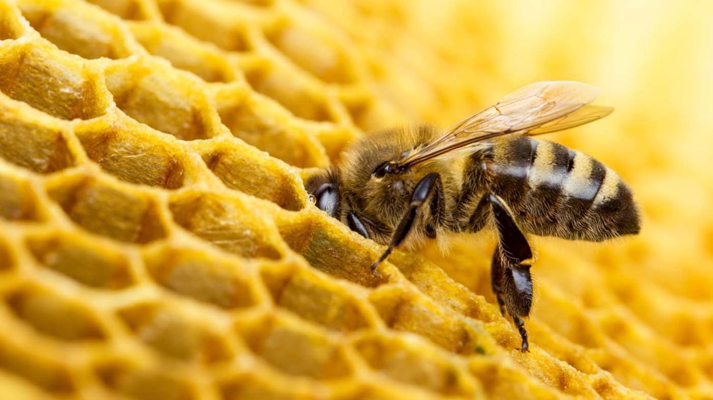 Eine Biene steckt ihren Kopf in eine Bienenwabe