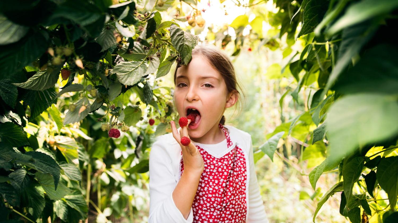 Mädchen in einem Garten hat drei Himbeeren auf die Finger gesteckt und isst eine davon