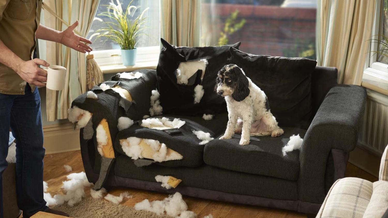 Kleiner schwarz-weißer Hund sitzt schuldbewusst auf einem vollkommen zerfledderten Sofa